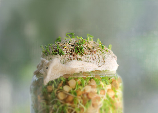 lentil-sprouts-full