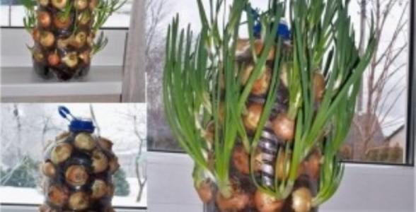onions-300x2881-588x300